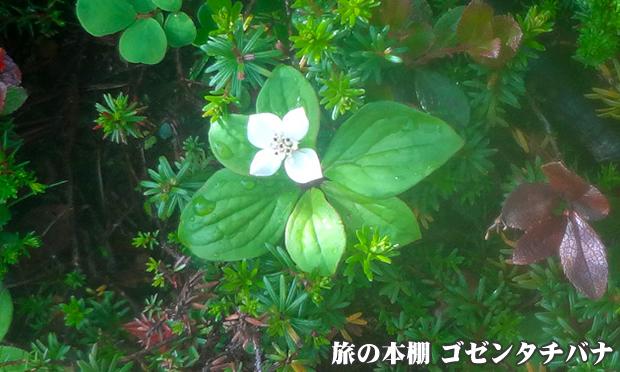 ゴゼンタチバナ(御前橘)