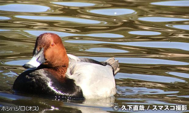別の池で野鳥を観察