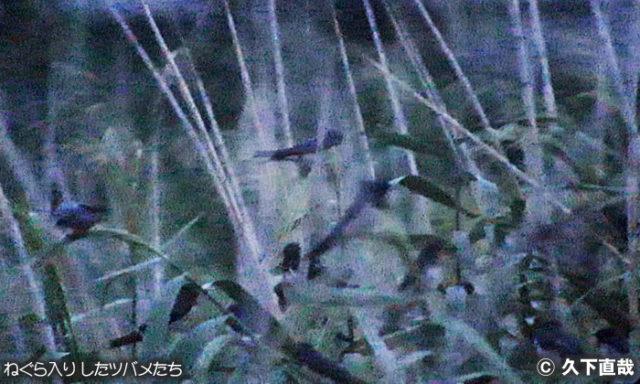 豊中赤坂下池 ツバメのねぐら入り